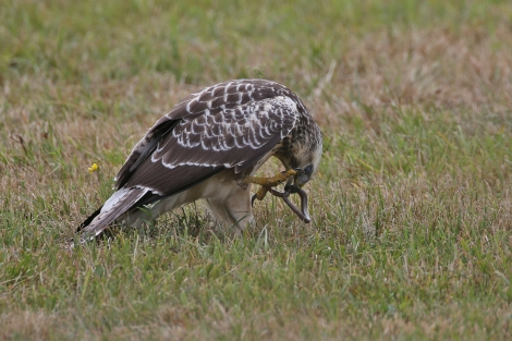 buzzard-with-blindworm-1aa4f657-77d9-41ec-9707-52afde4384e1
