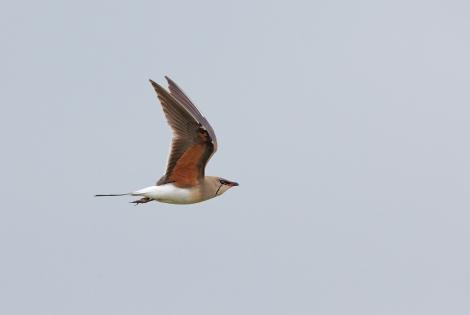 Rotflügelbrachschwalbe